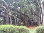 3 ഏക്കർ  വിസ്തൃതിയില് 400 വയസ്സുള്ള ആല്മരം...ദൂരെയല്ല ഇവിടെത്തന്നെ!!