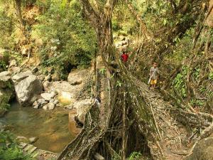 Living Root Bridges Meghalaya