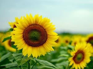 Gundlupet The Paradise Sunflower