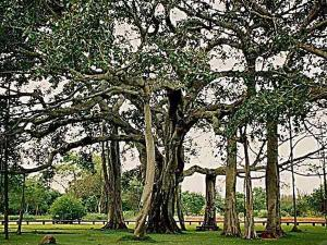 Popular And Oldest Banyan Trees In India