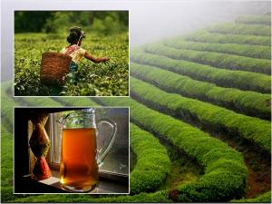 Best Tea Plantation Trails India