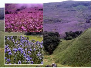Things You Know Before Going See Neelakurinji Munnar