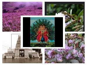 Kurinji Andavar Temple In Kodaikanal History And Timings