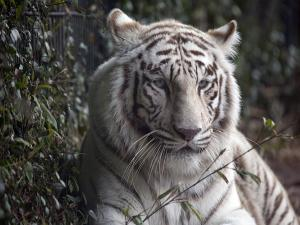 Places To Spot White Tigers In India