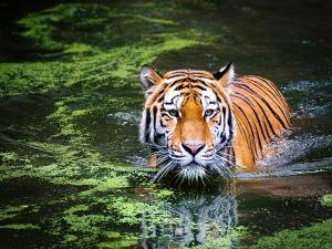 International Tiger Day 2020 Top Tiger Reserves In Kerala