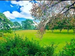 Cherry Blossom Festival In Shillong