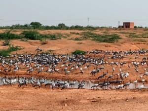 Khichan The Paradise Migratory Birds Rajasthan