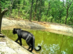 A Black Panther Spotted In Goa Netravali Wildlife Sanctuary