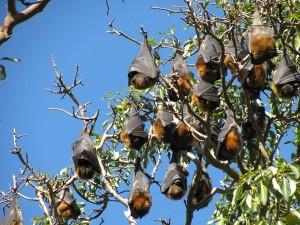 Kabatabandha Village In Bhubaneswar Worships Bats