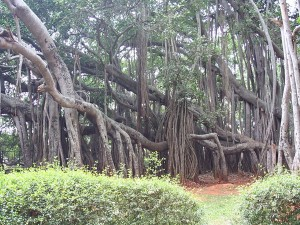 The Big Banyan Tree In Bangalore The Popular Destination In City