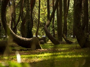 Interesting And Unknown Facts About Crooked Forest In Poland