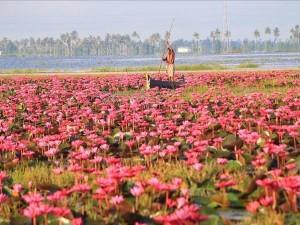 Kerala Tourism Promoting Pink Water Lilies E Festival In Malarikkal Kottayam