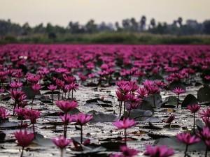 Tirurangadi In Malappuram Witnesses Water Lily Blooming