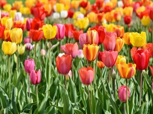 Days Long Kashmir Tulip Festival Will Start From April 3 To Promote Tourism And Welcome Spring