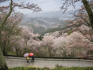 Cherry Blossom Season In Japan Arrives Earlier Than Normal First Time In 1200 Years