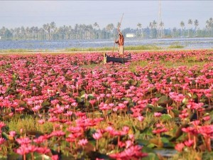 Water Lily Blooms Again In Malarikkal Kottayam In 2021 Attractions And Specialties