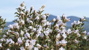 Neelakurinji Blooms Again In Santhanpara Idukki Attractions And Specialities