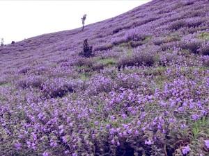Neelakurinji Blooms In Kodagu District Heli Tourism Package For Visitors