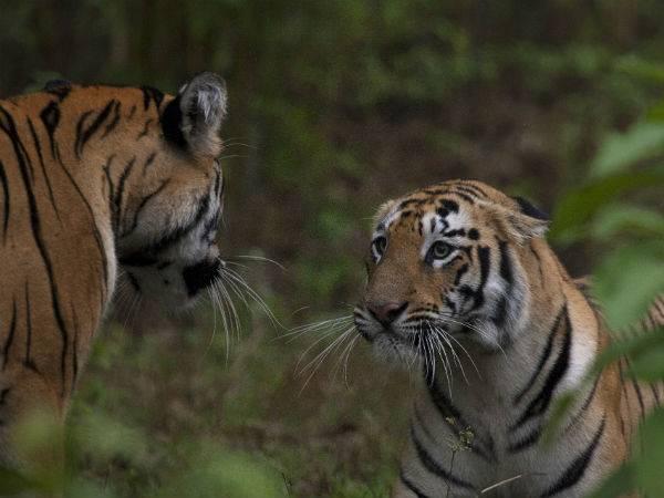 Bandipur National Park Toger Reserve Karnataka